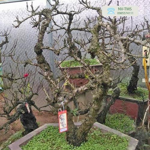 Đào thất thốn Nhật Tân