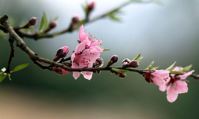 ý nghĩa của cây hoa đào ngày Tết
