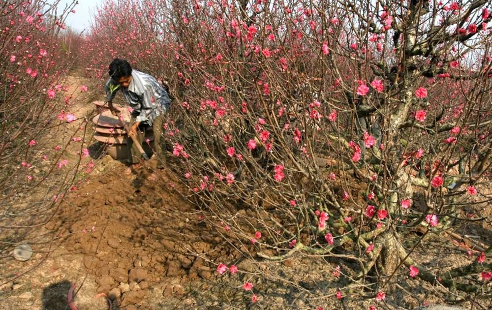 cách trồng và chăm sóc đào ra hoa đúng Tết
