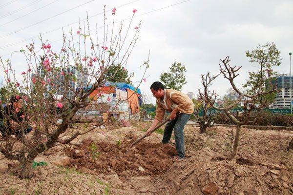 Hướng dẫn trồng và chăm sóc cây đào sau Tết